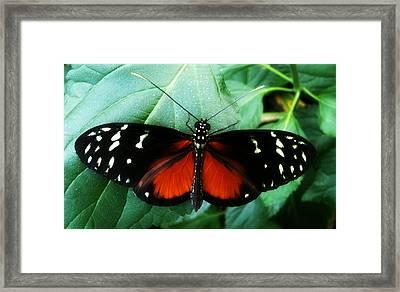 Butterfly Beauty Framed Print by Beril Sirmacek