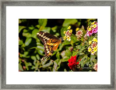 Butterfly Beauty Framed Print by Robert Bales