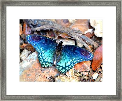 Butterfly Blue  Framed Print by Deena Stoddard