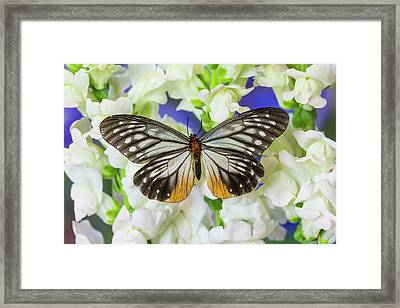 Butterfly Calinaga Buddha, The Freak Framed Print by Darrell Gulin
