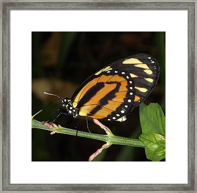 Framed Print featuring the photograph Butterfly Collecting Nectar by Bill Woodstock