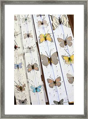 Butterfly Collector Setting Board Framed Print
