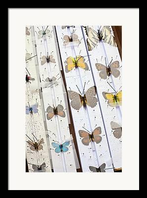 Lepidopterist Framed Prints