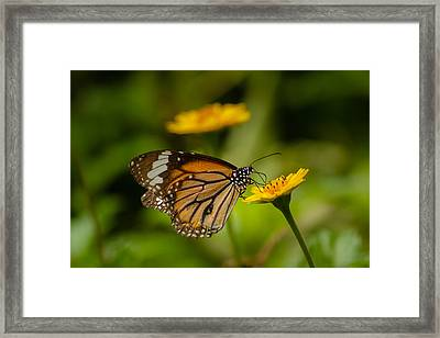 Butterfly - Common Tiger Framed Print by Saurav Pandey