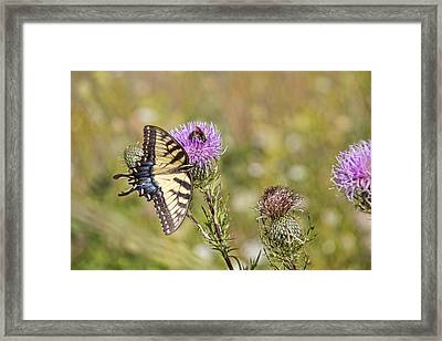 Butterfly Framed Print by Daniel Sheldon