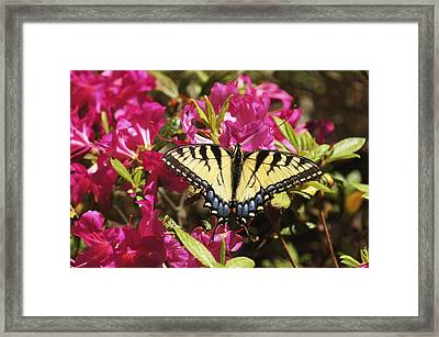Framed Print featuring the photograph Butterfly by Debra Crank