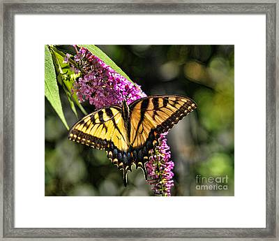 Butterfly - Eastern Tiger Swallowtail Framed Print