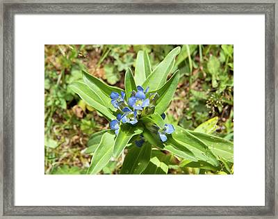 Butterfly Eggs On Gentian Flowers Framed Print by Bob Gibbons