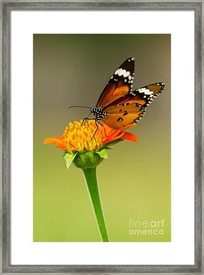 Butterfly Feeding Framed Print by Tosporn Preede