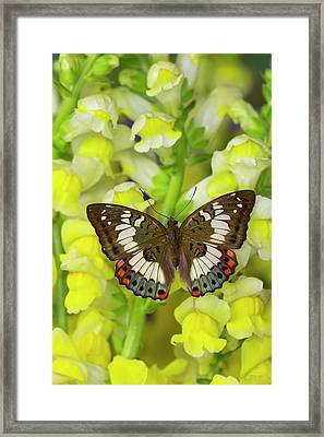 Butterfly, Female, Euthalia Adonia Framed Print