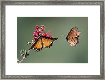 Butterfly Flight Framed Print by Jeff Wendorff