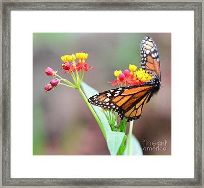 Butterfly Flower - Gossamer Wings Embrace Candy Blossoms Framed Print by Wayne Nielsen