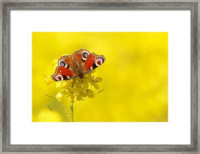 Butterfly In A Field Of Yellow Rapeseed Flowers Framed Print by Roeselien Raimond