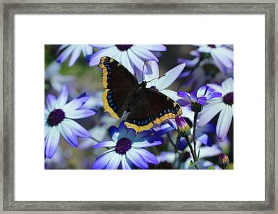 Butterfly In Blue Framed Print by Heidi Smith