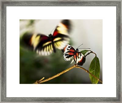 Butterfly In Flight Framed Print by Bradley R Youngberg