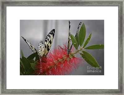 Butterfly Love Framed Print by Carla Carson