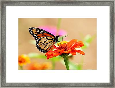 Framed Print featuring the digital art Butterfly Lunch by Lorna Rogers Photography