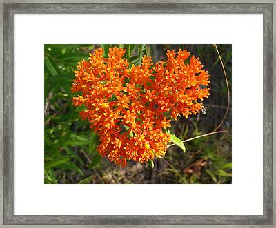 Butterfly Milkweed Framed Print