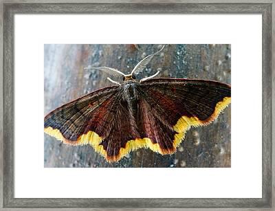Butterfly Of Bellavista  Framed Print