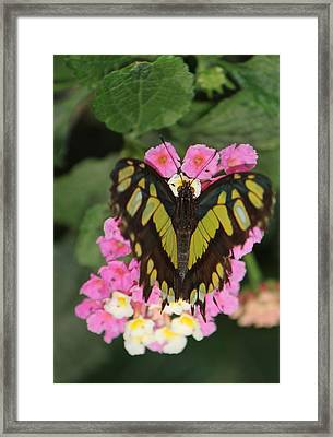 Butterfly Of Love Framed Print