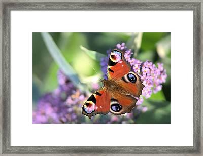 Butterfly On Buddleia Framed Print by Gordon Auld