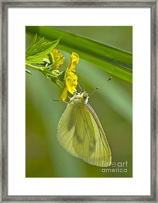 Butterfly On Buttercup Framed Print by Sharon Talson