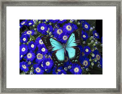 Butterfly On Cineraria Framed Print