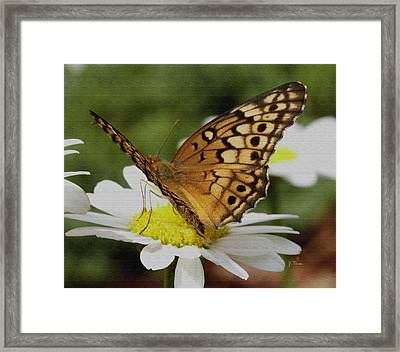 Framed Print featuring the photograph Butterfly On Daisy by James C Thomas