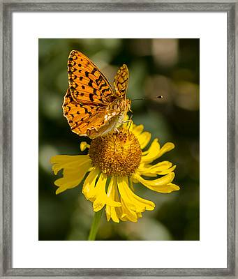 Butterfly On Daisy Framed Print