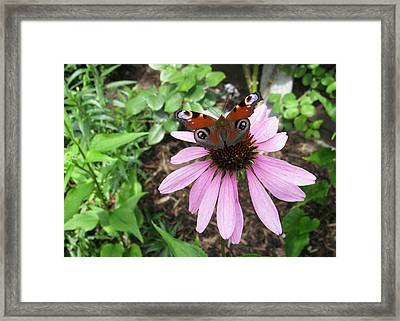 Framed Print featuring the photograph Butterfly On Echinacea by Helene U Taylor