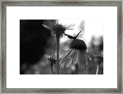 Butterfly On Echinacea Framed Print by Maeve O Connell