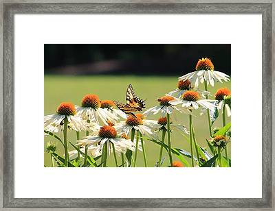 Butterfly On Echinacea Framed Print