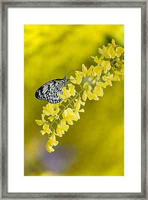 Butterfly On Laburnum Framed Print