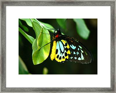 Butterfly On Leaf Framed Print by Laurel Powell