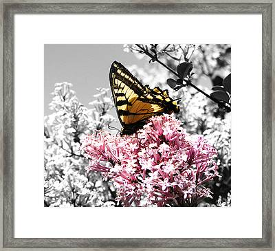 Butterfly On Lilac Framed Print by Mellisa Ward