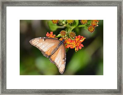 Butterfly On Mexican Flame Framed Print by Debra Martz