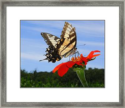 Butterfly On Red Daisy Framed Print