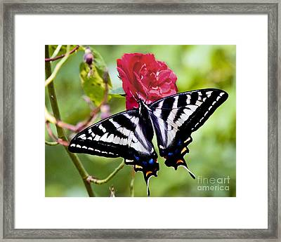 Butterfly On Rose Framed Print