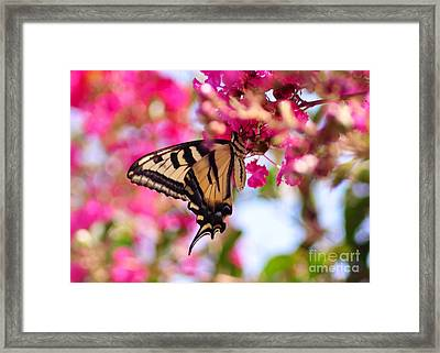 Butterfly On The Crepe Myrtle. Framed Print