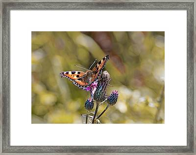 Butterfly On Tistle Sep Framed Print