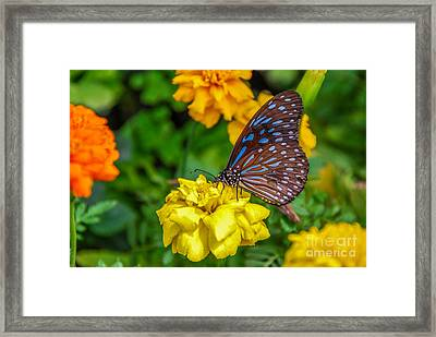 Butterfly On Yellow Marigold Framed Print