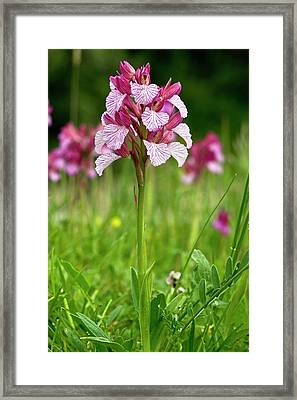Butterfly Orchid (orchis Papilionacea) Framed Print