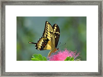 Butterfly Papilio Thoas Nealces Framed Print by Michael Lilley