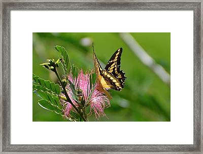Butterfly Papilio Thoas Nealces2 Framed Print by Michael Lilley