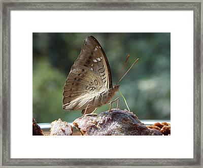 Butterfly  Framed Print by Prashant Ambastha