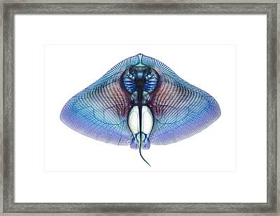 Butterfly Ray Framed Print by Adam Summers