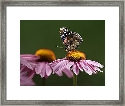 Framed Print featuring the photograph Butterfly Red Admiral On Echinacea by Peter v Quenter