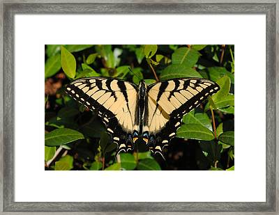 Butterfly Framed Print by Robert  Moss