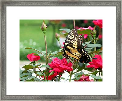 Butterfly Rose Framed Print