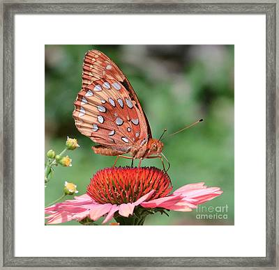 Butterfly Sipping A Coneflower Framed Print